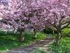 Cherry blossom 2007