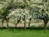 cherry-blossom-2008-image-4_0