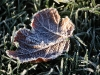Frosted leaf Christmas 2007