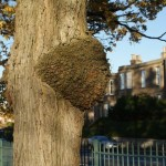 Burr on Wheatley Elm