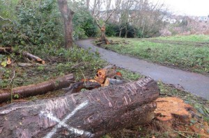 Cherry tree felling