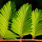 Dawn Redwood leaves
